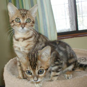 Bengal Kittens Ready Soon